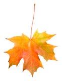 liść spadać odosobniony klon Zdjęcia Stock