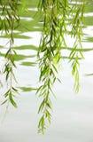 liść spring gałązki willow Zdjęcia Stock