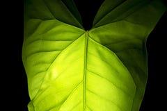 liść sylwetka Zdjęcie Royalty Free