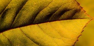 liść szczególne Obraz Stock