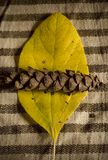 liść szyszkowa sosna Zdjęcie Stock