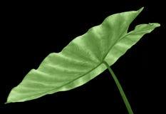liść taro obrazy stock