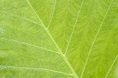 liść taro Fotografia Stock
