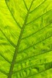 liść tekstura Zdjęcia Stock