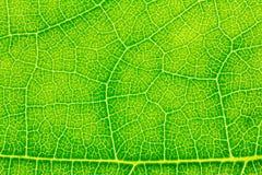 Liść tekstura, liścia tło Fotografia Royalty Free