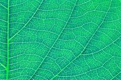 Liść tekstura, liścia tło dla projekta Obraz Royalty Free