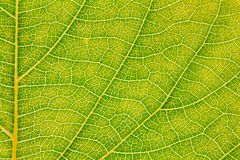 Liść tekstura lub liścia tło dla projekta Obrazy Stock