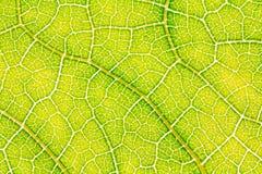 Liść tekstura lub liścia tło dla projekta Zdjęcie Royalty Free