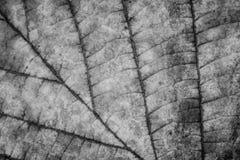 Liść tekstura, monochrom obraz royalty free
