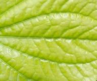 Liść tekstury Fotografia Stock