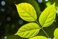 Liść texture przeciw światłu słonecznemu zdjęcie stock
