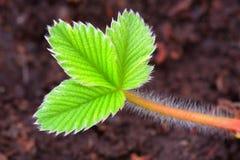 liść truskawka Obraz Royalty Free