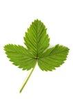 liść truskawka Obrazy Royalty Free