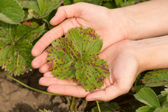 Liść truskawka Z choroby Białym cętkowaniem Na rękach Obraz Stock