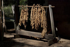 liść tytoń Fotografia Royalty Free