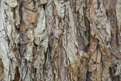 liść tytoń Obraz Royalty Free