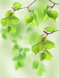 liść wapna drewno Obrazy Royalty Free