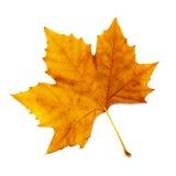 liść więdnący Zdjęcia Royalty Free