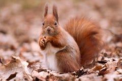 liść wiewiórka Obrazy Royalty Free
