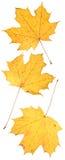 liść wihite Zdjęcie Stock