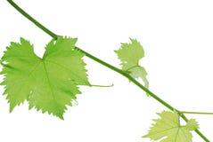 liść winograd Zdjęcia Royalty Free