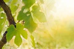 liść winograd Fotografia Royalty Free