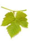 liść winograd Zdjęcia Stock