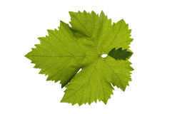 liść winograd Fotografia Stock
