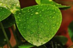 Liść wody kropli zieleni liÅ› Ä ‡ makro- kropla Fotografia Stock