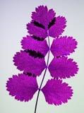 liść wyciskany Obraz Royalty Free