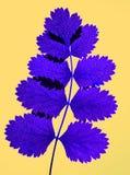 liść wyciskany Zdjęcie Royalty Free