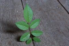liść wzrastali Zdjęcia Stock