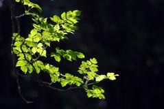 Liść z sunlight2. Zdjęcie Stock