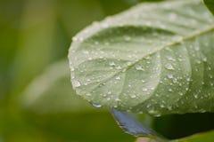 Liść z wodnymi kroplami Fotografia Stock