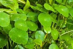 Liść zieleń Fotografia Royalty Free