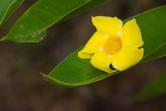 liść zieleń z kroplami z żółtym kwiatem Obrazy Royalty Free