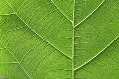 liść zielona żyła zdjęcie stock