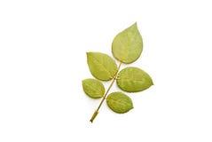 liść zielona prasa Zdjęcie Royalty Free