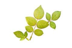 liść zielona prasa trzy Fotografia Stock