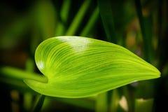 liść zielona roślina Zdjęcie Stock