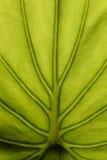 liść zielona tekstura Obraz Royalty Free