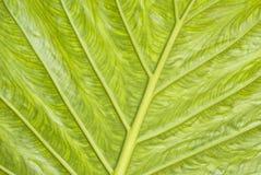 liść zielona tekstura Zdjęcia Royalty Free