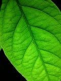 liść zielona tekstura Obrazy Stock
