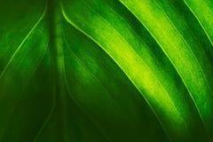 liść zielona tekstura naturalne abstrakcyjne tło Zielony liść w backlight Selekcyjna ostrość Obraz Royalty Free