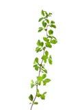 liść zielona wiosna Obraz Stock
