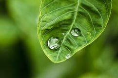 liść zielona woda Obraz Stock
