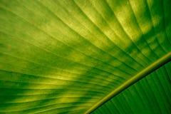 Liść zielony bananowy tło Fotografia Royalty Free