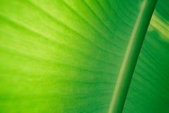 Liść zielony bananowy tło Zdjęcie Stock