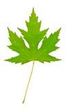 liść zielony klon fotografia royalty free