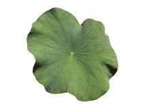 liść zielony lotos fotografia stock